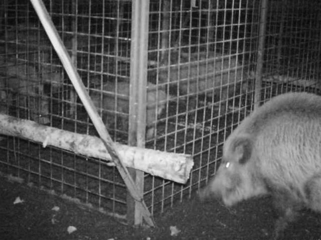 Des sangliers s'allient pour secourir deux jeunes congénères pris au piège dans une cage