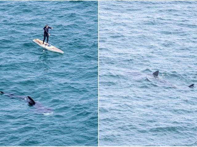 Un homme sur un paddle entouré de requins dans les Cornouailles