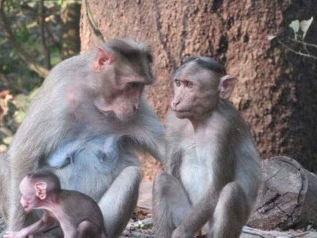 Monkeys stone man to death, cops in fix as family wants FIR