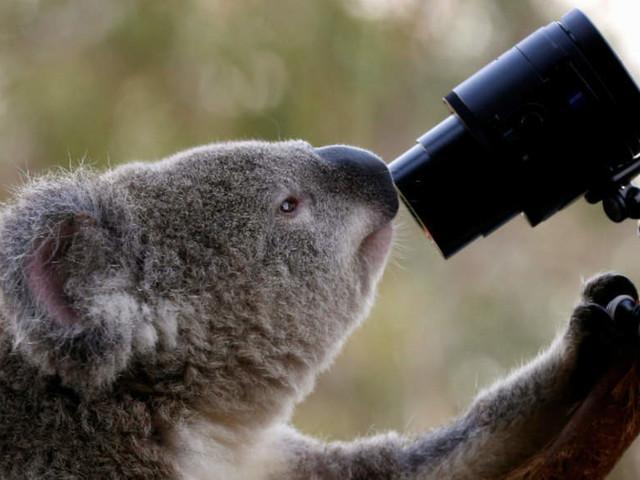 Koalas starve as residents destroy trees to stop bush fires on Australian island