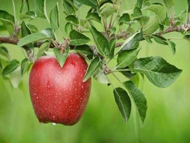 सेब के फायदे के बारे में तो जानते होंगे, लेकिन ये जानकारी आपको हैरत में डाल देगी