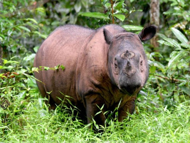 The fight on to save Earth's smallest rhino