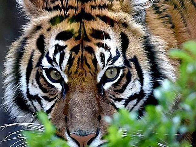 World Tiger Day 2021: बाघ जैसे वन्य जीव हमारी संस्कृति तथा जीवन का अभिन्न हिस्सा