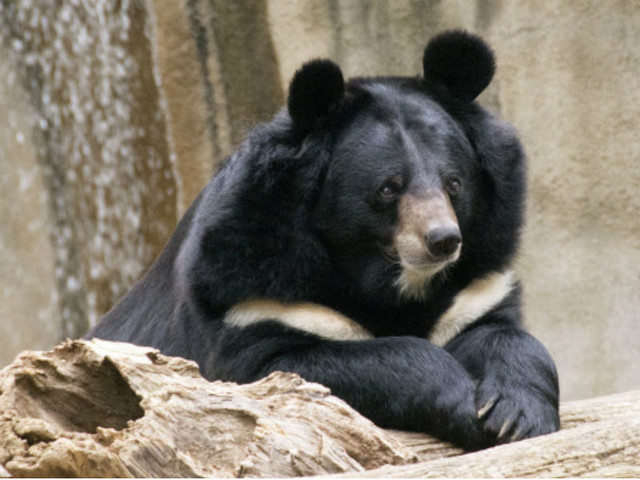 Black bears come back from extinction in US' Nevada