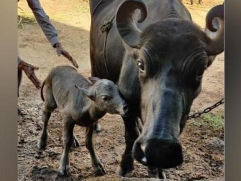 """भारत की पहली """"टेस्ट ट्यूब"""" भैंस के बछड़ों का जन्म गुजरात में हुआ था   तस्वीर पर देखो"""