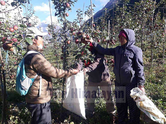 Manang sees increase in apple production