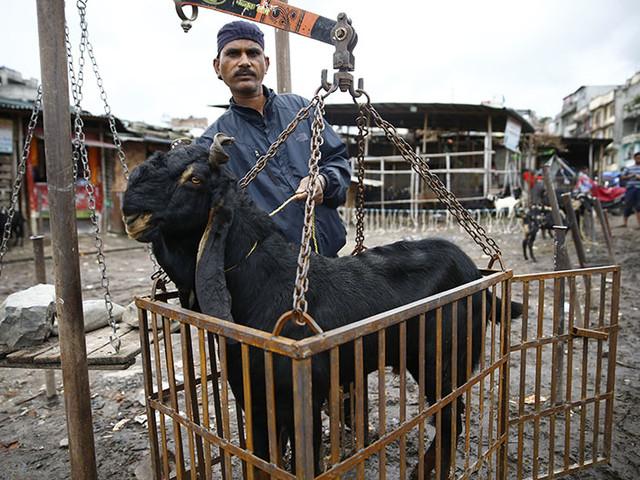 Import of live goat declines, price skyrockets