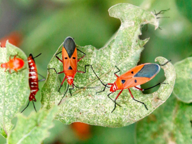 Trillions of insects migrate overhead each year: Study