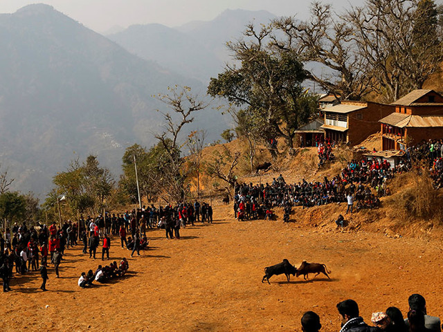 Bull fight during the Maghesangranti festival in Nepal