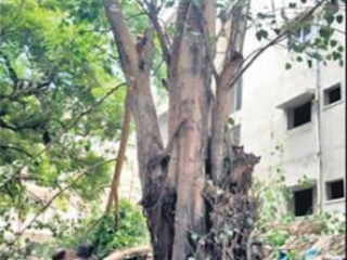 Nature lover saves years old tree from felling in Hyderabad