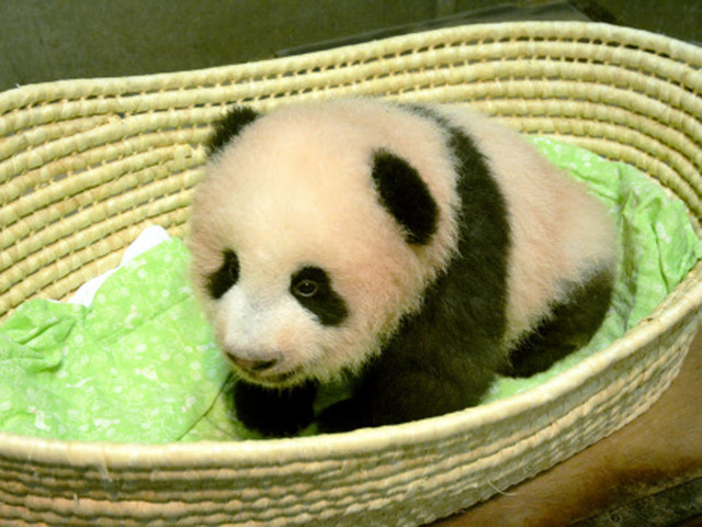 Japan zoo names baby panda after fragrant flowers