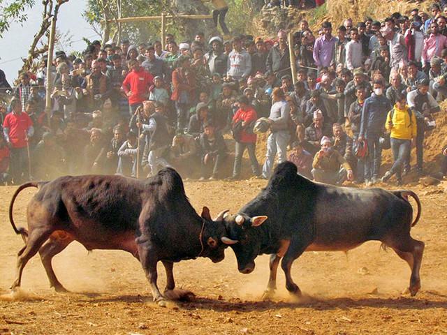 Nepali bullfighting gaining popularity in recent years