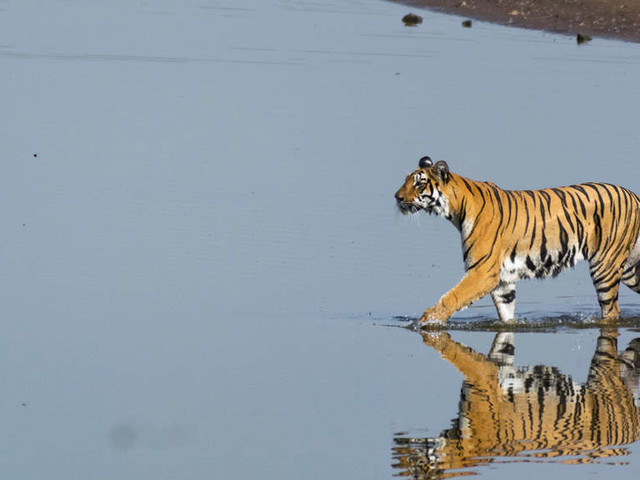 Madhya Pradesh loses 26 tigers in 2020; government says birth rate more than deaths