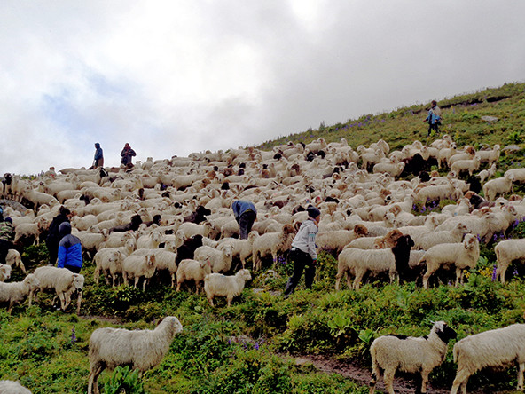 Traditional livestock business at risk in Lamjung