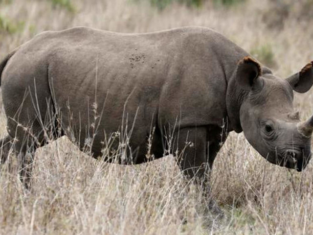 Botswana rhinos risk wipeout as poaching rises