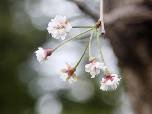 Tickled pink: Typhoons trick Japan blossoms into blooming six months early
