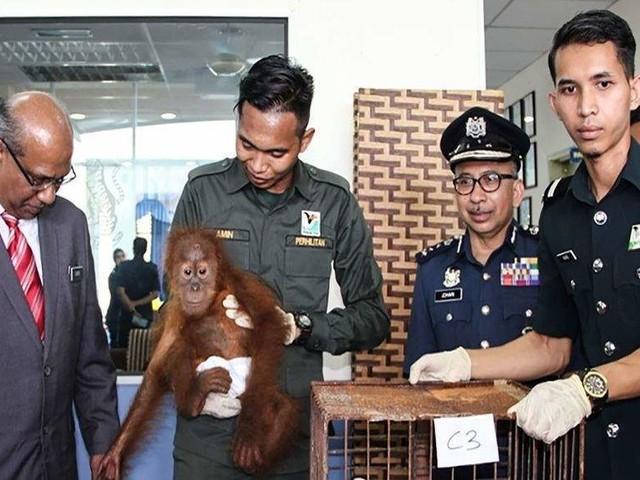 Orangutans saved as Malaysia foils high seas smuggling bid
