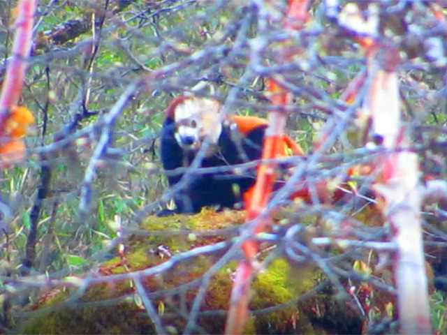 Endangered red panda seen in Lamjung for the first time
