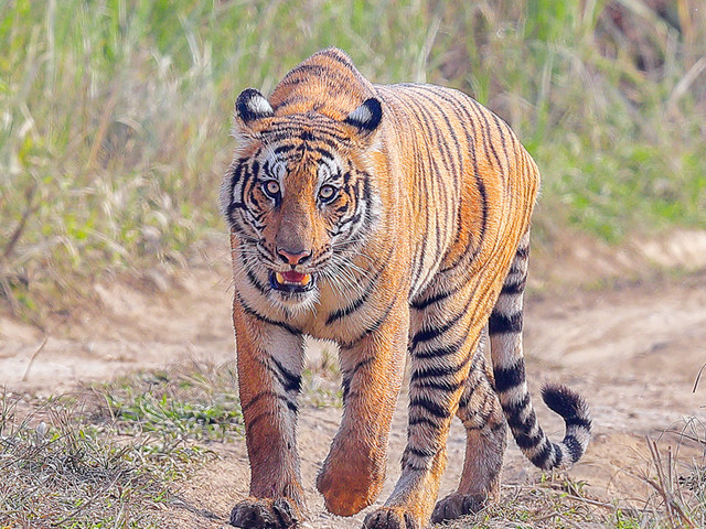 CNP holds tiger that killed woman
