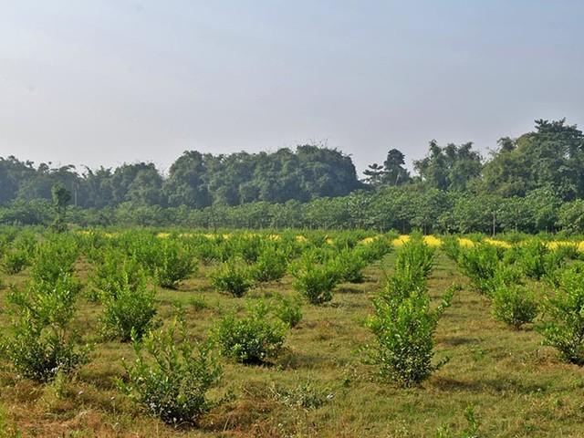 Commercial Lemon farming
