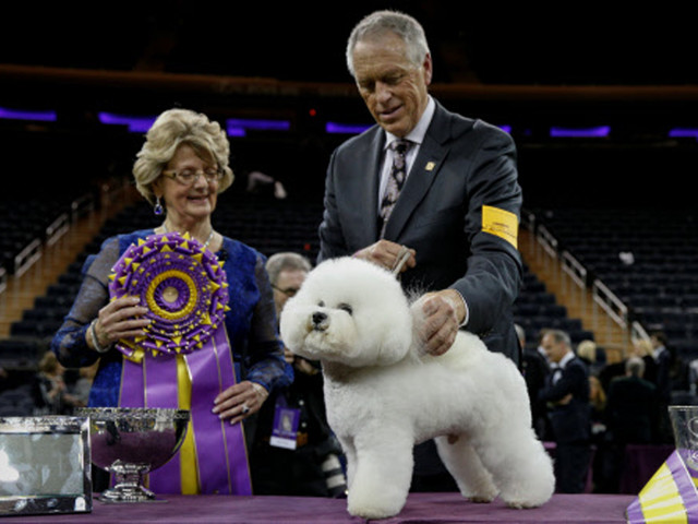 Flynn the bichon frise fetches top prize at Westminster Kennel Club Dog Show