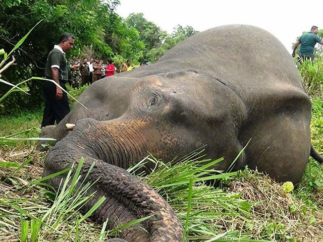Tougher penalties to protect Sri Lanka elephants after mass deaths