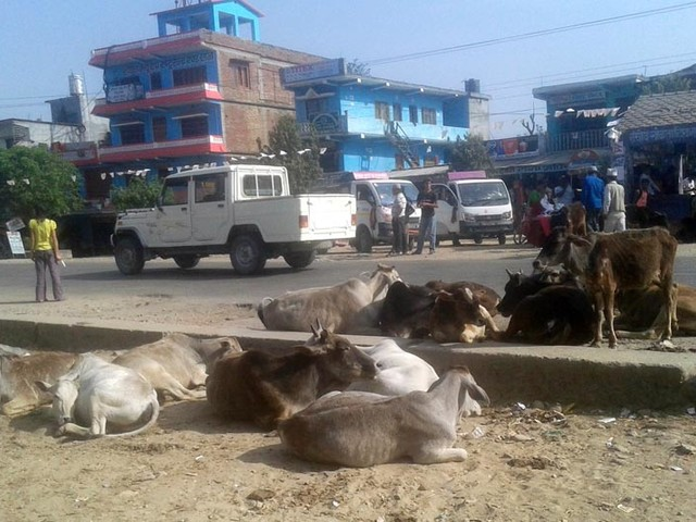 Govt told to ensure protection of stray cattle