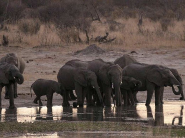 Zimbabwe says 55 elephants have starved to death in two months
