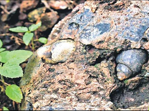 Telangana: Researchers discover snail fossils dating back 6.5 crore years old