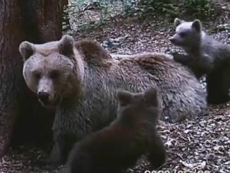 Battaglia legale sul destino della mamma orsa Jj4 Ora il consiglio di Stato sospende la cattura Sì alla richiesta delle associazioni, bocciata dal Tar