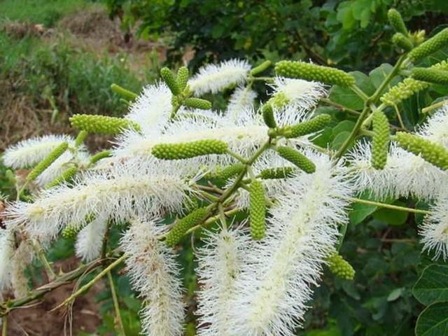 Candidosi, nuova terapia da una mimosa brasiliana