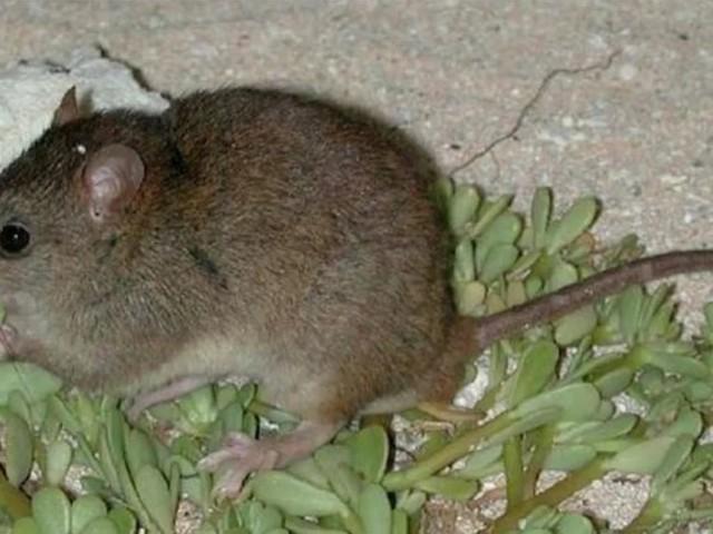 E' ufficiale: il Melomys rubicola è il primo mammifero estinto a causa del cambiamento climatico