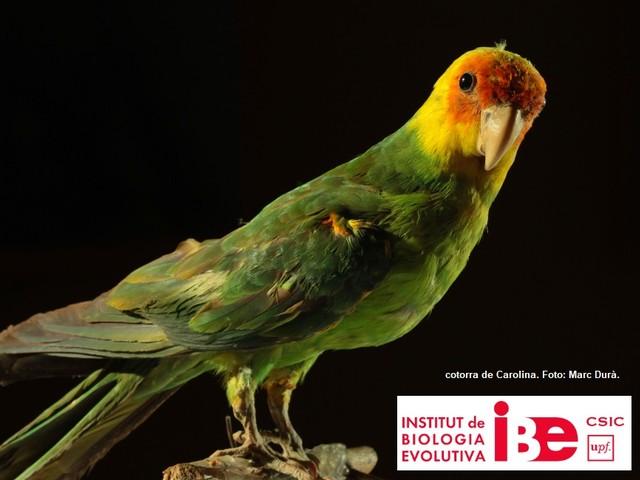 L'estinzione dell'unico pappagallo nordamericano è stata causata dagli esseri umani. Lo dice il genoma del parrocchetto della Carolina