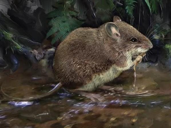 Scoperte due nuove specie di topi acquatici, sono i cugini di uno dei mammiferi più rari al mondo