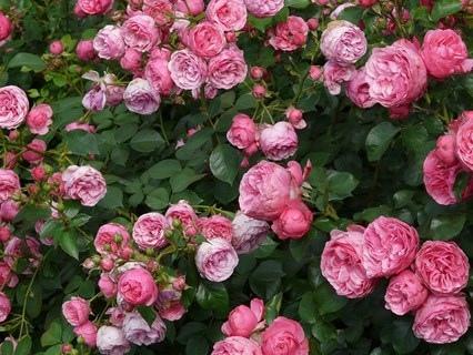 77.mo Concorso Internazionale per Nuove Varietà di Rose