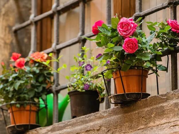 Come curare le rose in vaso e in giardino. Il terriccio adatto e la giusta grandezza dei vasi