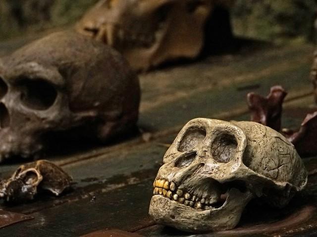 L'origine dell'infanzia umana nei crani fossili