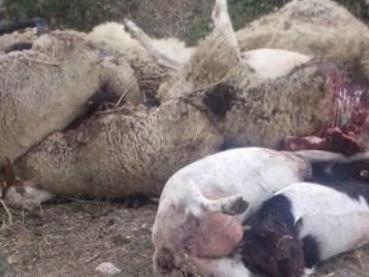 Sassari, pastore sgozza le sue 135 pecore: il latte che fornivano non si vendeva più