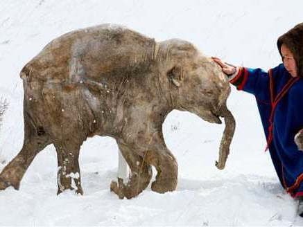 I mammut dell'isola di Wrangel, gli ultimi sopravvissuti di una specie