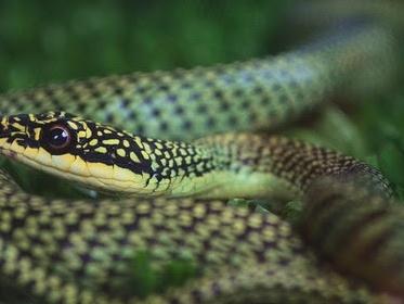 Thailandia il mese dei serpenti, attenti ai serpenti nel mese di giugno