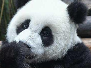 Panda gigante salvato dagli abitanti di un villaggio, dopo due mesi di cura è libero