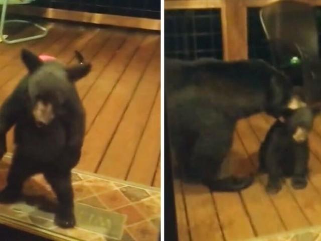 Il video virale di un cucciolo di orso che si intrufola in una casa: la reazione di mamma orsa è epica