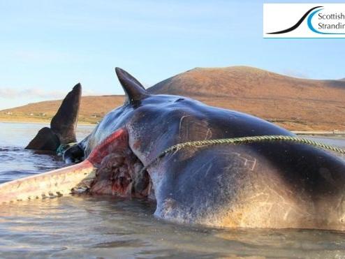 Capodoglio morto con 100 Kg di plastica nello stomaco, cocktail chimico tossico nei cuccioli di focene e nelle orche
