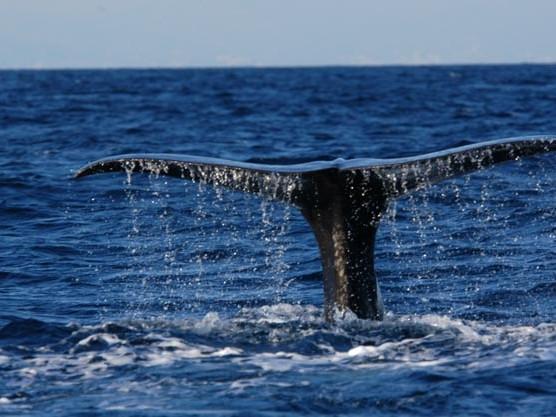 Whale-Watching, una nuova figura professionale di guida per le uscite in mare? Fratoni: «Perché no»