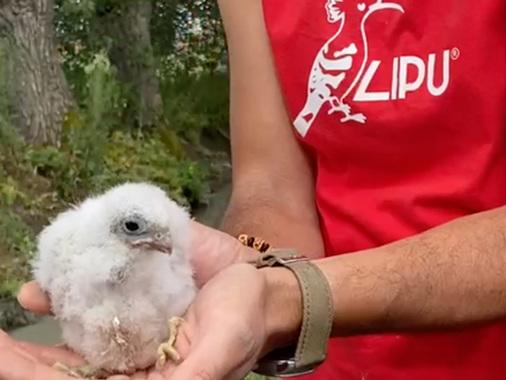Sissa Trecasali, falco cuculo di casa grazie a Lipu: colonia record