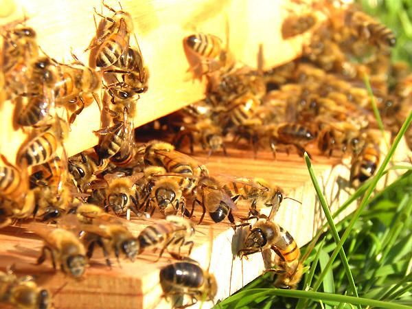 Anche San Martino dall'Argine è comune amico delle api: ecco cosa comporta la scelta del consiglio