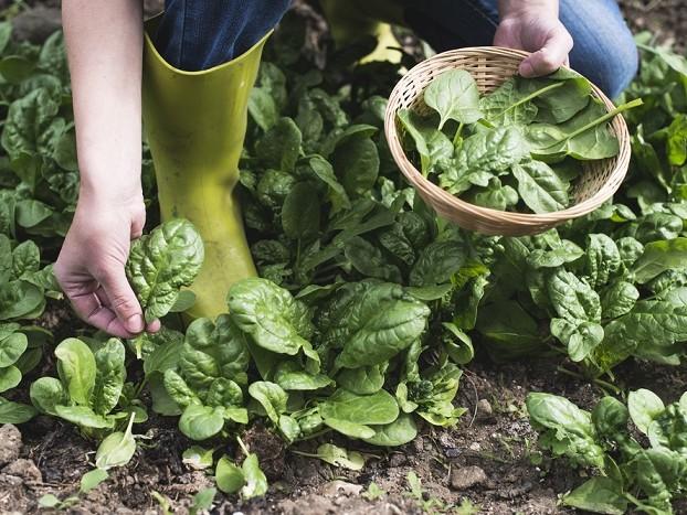 Come coltivare gli spinaci nell'orto in giardino o in vaso sul balcone