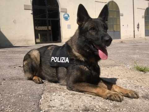Firenze, bimba intossicata: cane poliziotto fiuta hashish in casa. Denunciato il padre
