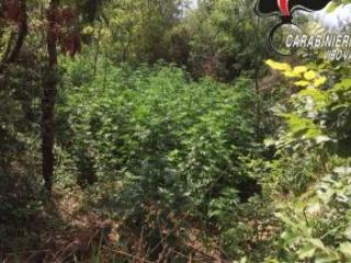 Scoperte 3 piantagioni di Canapa in provincia di Reggio Calabria Arrestate dai carabinieri due persone e coltivazioni sequestrate