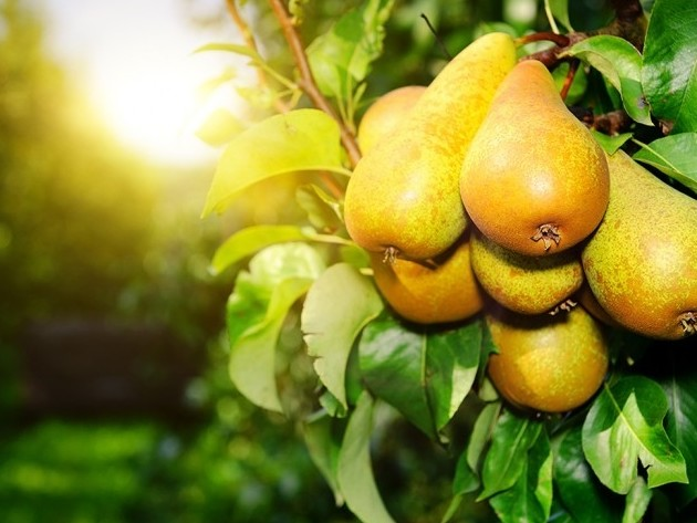 South African pears next in line for exports to China